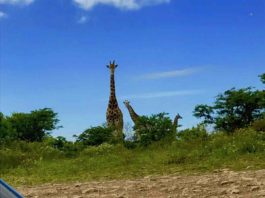 bikerumor pic of the day Eastern Cape province of South Africa. Cycling amidst giraffe.