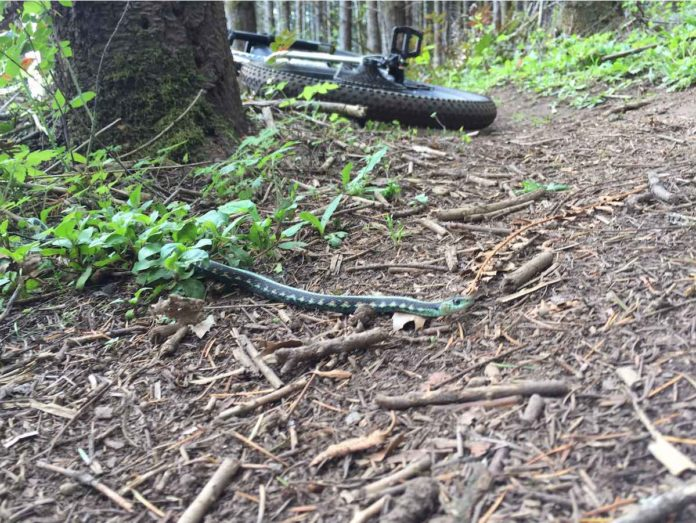bikerumor pic of the day trail buddy garter snake crossing the dirt trail in Scappoose, Oregon