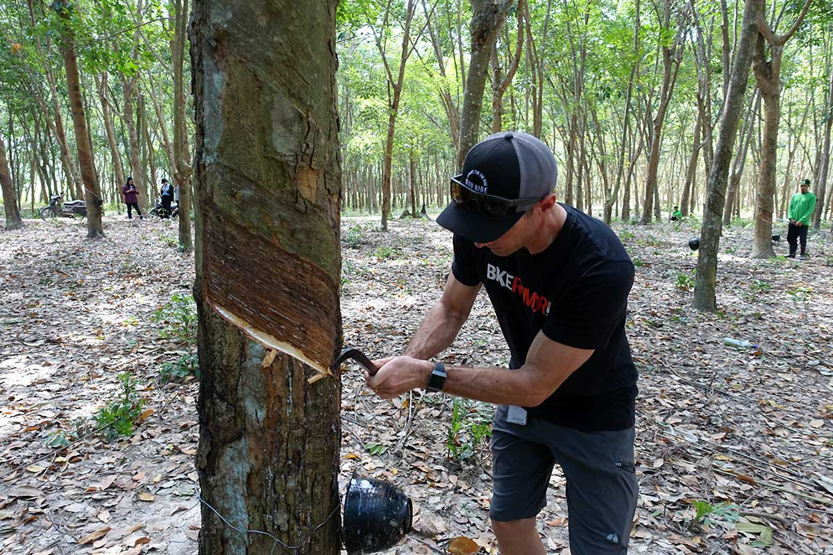 how to cut a rubber tree bark to harvest the latex sap