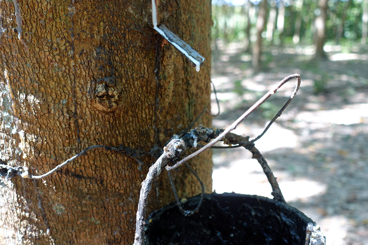 what latex sap looks like while it comes out of a rubber tree